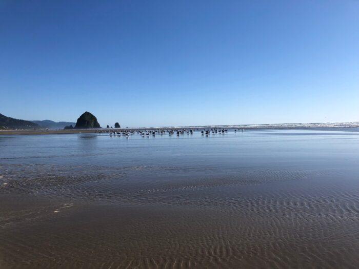 Många fiskmåsar vid strandkanten